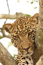 Leopard In A Tree Royalty Free Stock Image - 5569346
