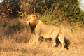 Lion In Sabi Sands Royalty Free Stock Photos - 5569408