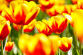 Tulip Flowers Stock Images - 5569734