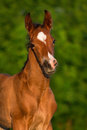 Little Colt Horse Stock Photos - 55617073