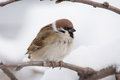 Tree Sparrow Royalty Free Stock Photography - 55617187