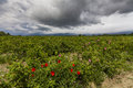 The Picturesque Landscape With Rose Field Under A Cloudy Sky. Royalty Free Stock Photography - 55636857