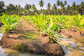 Young Banana Tree Plantation In Thailand Royalty Free Stock Photo - 55640935