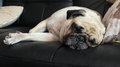 Close Up Face Of Cute Pug Puppy Dog Sleeping In Sofa Royalty Free Stock Photos - 55651418