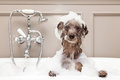 Funny Dog Taking Bubble Bath Stock Photography - 55660892