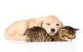 Golden Retriever Puppy Dog And British Cat Sleeping Together. Isolated Stock Photos - 55670073