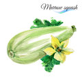 Watercolor Marrow Squash Royalty Free Stock Images - 55671129