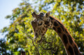 Giraffe Eating Leaves Stock Photography - 55684562