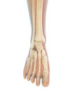 Human Foot Anatomy Stock Photography - 55686392