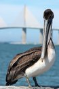 Pelican Royalty Free Stock Photos - 55688728