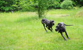 Dogs Playing Stock Image - 55697871