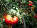 Red And Green Tomatoes In A Green House Royalty Free Stock Photography - 55699467