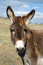 Young Curious Donkey Royalty Free Stock Photography - 5570957