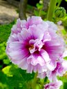 Pink And White Peony Flowers Blooming Royalty Free Stock Images - 55713069