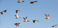 Flying Ducks Royalty Free Stock Image - 55728916