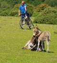 Mother And Baby Donkey Showing Love And Affection In The New Forest Hampshire England UK Royalty Free Stock Photos - 55757018