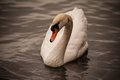 Mute Swan Cygnus Olor Swimming In Water Royalty Free Stock Image - 55760076