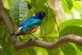 Blue Bird With Breast Standing On The Branch Stock Photos - 55773133