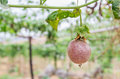 Passion Fruit (passiflora Edulis), Selective Focus. Royalty Free Stock Photography - 55773587