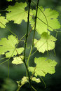 Grape Leaves Stock Images - 5584014