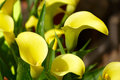 Yellow Calla Lily Royalty Free Stock Images - 55808969