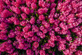 Pink Hyacinths Stock Images - 55820794