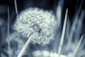 Dandelion Flower With Fluff, Blue Toned Stock Photos - 55820913