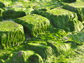 Green Alga On Stones Royalty Free Stock Image - 55825236