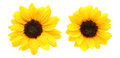 Flower Head Of Sunflower Royalty Free Stock Images - 55826579