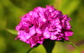 Carnation Royalty Free Stock Photo - 55827155