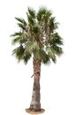 Date Palm Tree Royalty Free Stock Images - 55852709