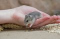 Young Hamster Royalty Free Stock Photo - 55867605