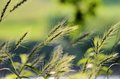 Indian Grass Royalty Free Stock Images - 55871729