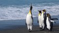 Leader Of The Pack, King Penguins In South Georgia Stock Photo - 55872660