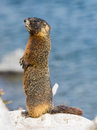 Yellow-bellied Marmot Stock Images - 55889754