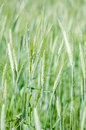 Field Of Rye Stock Photography - 55915612