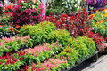 Beautiful Flats And Hanging Planters At Local Nursery Stock Photo - 55937060