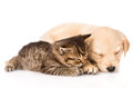 Golden Retriever Puppy Dog And British Cat Sleeping Together. Isolated Stock Photography - 55938912
