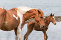 Wild Chincoteague Pony Royalty Free Stock Images - 55945009