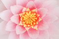 Petal Pink Lotus Flower. Stock Image - 55949691