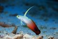 Fire Goby Royalty Free Stock Photography - 55950147