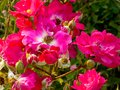 Pink And White Roses Blooming Royalty Free Stock Image - 55960806