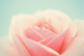 Sweet Pink Rose In Soft Color And Blur Style Stock Photo - 55969340