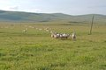 Floral Meadows With Flocks Of Sheep Stock Images - 55974184