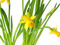 Daffodils On White Royalty Free Stock Images - 562069