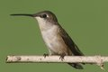 Ruby-throated Hummingbird (archilochus Colubris) Royalty Free Stock Images - 56000239