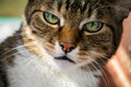 Angry Domestic Cat Looks Up Royalty Free Stock Image - 56003016