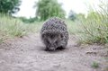 Hedgehog On The Grass Stock Images - 56015424