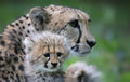 Cheetah Cub In Front Of His Mother 03 Royalty Free Stock Images - 56024799