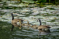 Two Geese And Their Goslings. Stock Images - 56075834